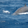 Gervais' Beaked Whale off Hatteras 30 May 2009
