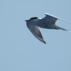 Common Tern off Hatteras 1 June 2009