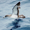Cory's Shearwater off Hatteras 8 August 2008