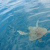 Olive Ridley Turtle, off Drake Bay, Costa Rica, 19 April 2004