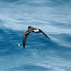 Band-rumped Storm-petrel off Hatteras 9 August 2008