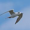 Forster's Tern, 10 September 2016, Corolla NC