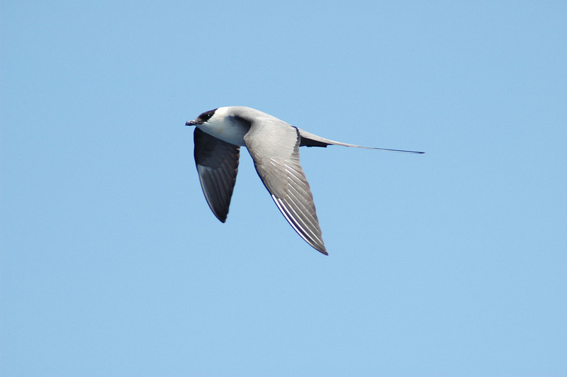 Long-tailed Jaeger off Hatteras 27 May 2008