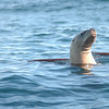 Steller's Sea Lion, Cordell Bank 17 October 2008