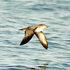 Pink-footed Shearwater Cordell Bank 17 October 2008