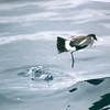 Wilson's Storm-petrel, off Manteo 9 Aug 2003