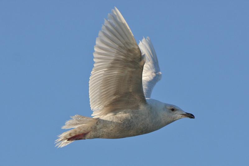 Kumlien's Gull, off Hatteras 19 February 2011