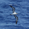 Black-capped Petrel off Hatteras 30 August 2009