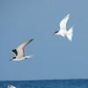 Bridled Tern and Roseate Tern, Barbareta Honduras, 15 July 2006