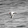 Red-billed Tropicbird off Santa Barbara 21 July 2007