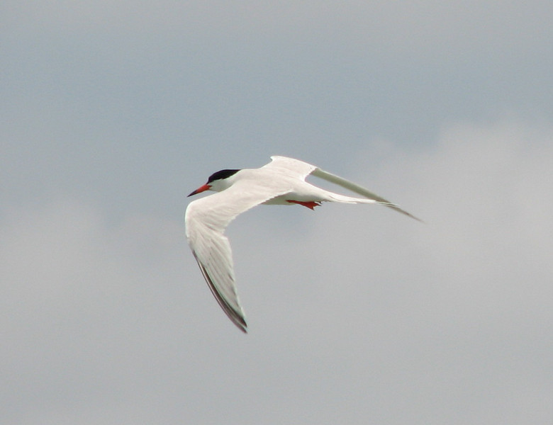Roseate Tern, Barbareta Honduras, 15 July 2006