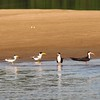 Large-billed Terns and (Amazon) Black Skimmers (R. n. cinerescens) Essequibo River Guyana 8 November 2008