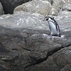 Humboldt Penguin, Isla Cachagua, Chile, 13 March 2012