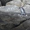 Humboldt Penguin, Isla Cachagua, Chile, 13 March 2012