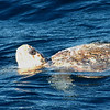 Loggerhead Turtle off Hatteras 17 January 2009