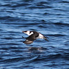 Razorbill, offshore Virginia Beach 19 January 2013