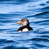 Atlantic Puffin, offshore Virginia Beach 19 January 2013