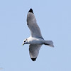 Black-legged Kittiwake, offshore Virginia Beach 19 January 2013