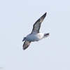 Northern Fulmar, offshore Virginia Beach 19 January 2013