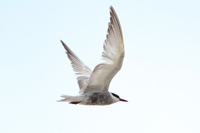 Whiskered Tern, Cape May NJ, 16 September 2014
