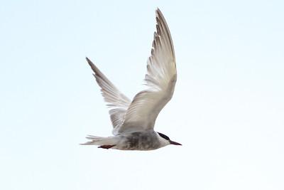 Whiskered Tern, Cape May NJ, 16 September 2014