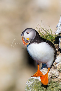 Puffin looking down