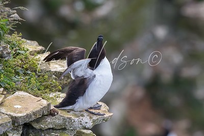 Razorbill stretching