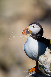 Puffin Perching 2