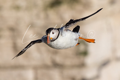 Puffin In Flight 1