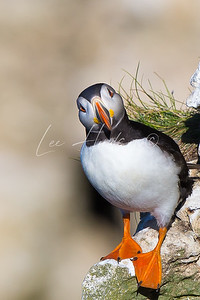 Staring Puffin