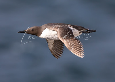 Guillemot in Flight