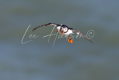 Puffin On The Wing