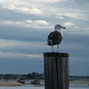 Seagull - Seabrook, NH
