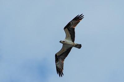 Seahawk (Osprey) over Pirates Landing 2014