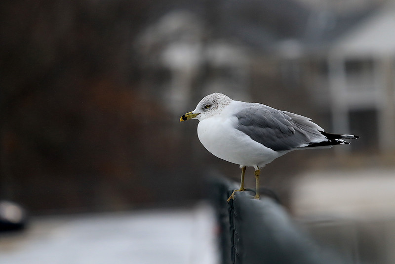 A seagull did not mind the cold and a little bit of snow as he hung out on a fence near Lake Whalom in Lunenburg on Tuesday afternoon, January 8, 2019. SENTINEL & ENTERPRISE/JOHN LOVE