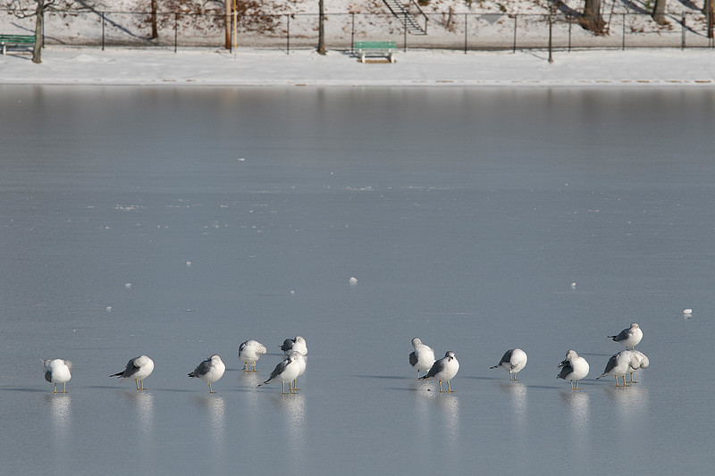 Some seagulls hang out on the ice on Lake Whalom in Lunenburg on Tuesday, Jan. 7, 2020. SENTINEL & ENTERPRISE/JOHN LOVE