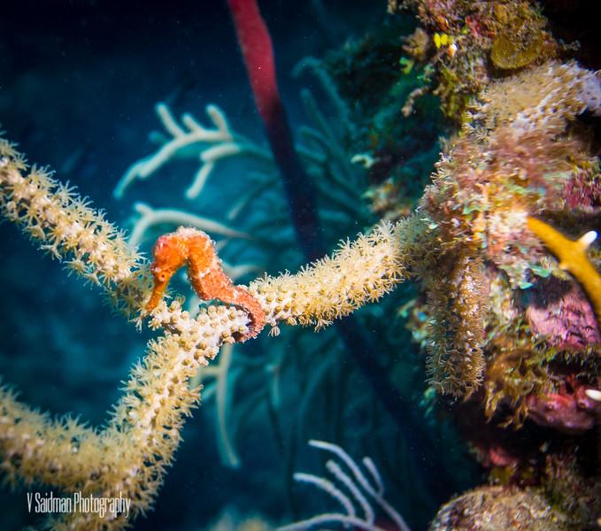 Shy Seahorse