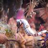 Rare White Seahorse