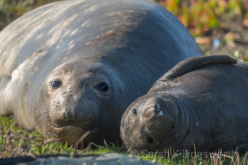 elephant seal snuggle