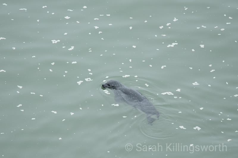 swimming harbor seal