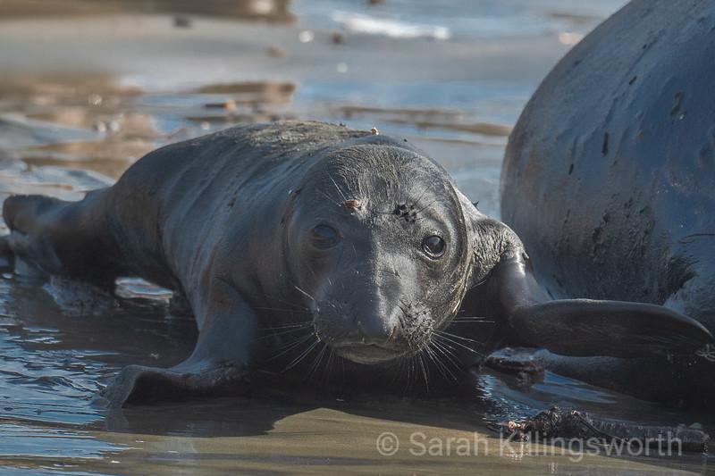 elephant seal pup on the beach