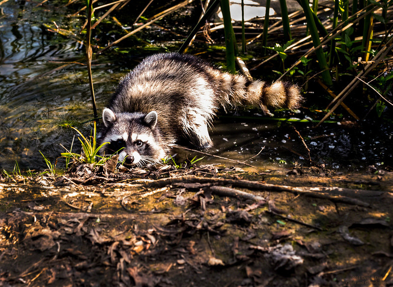 Curious Rocky-  I took a break on a hike and this little guy came out of the bushes in the lake to check me and my equipment out...