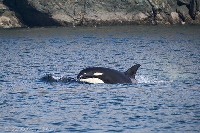 Orca taking a bit of air