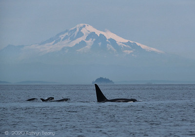 Transient Biggs Killer Whales and Mt Baker