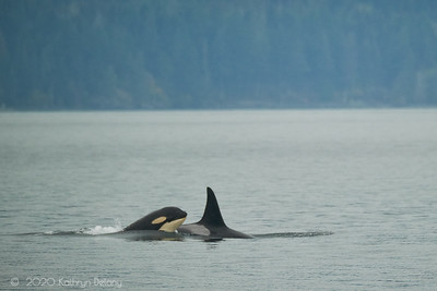 Orcas in the San Juans