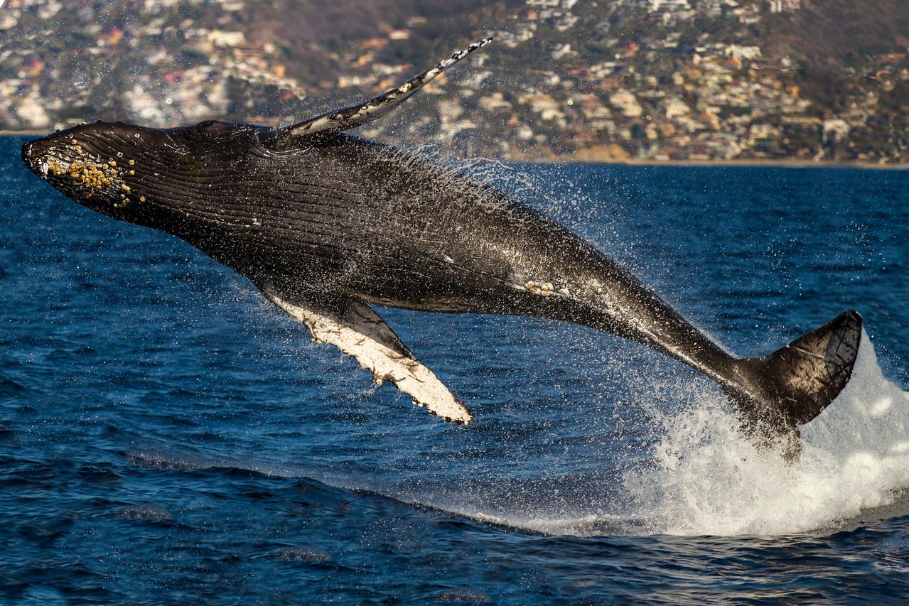 Levitating Whale
