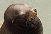 California sea lion, Zalophus californianus, Newport, Oregon ( Pacific Northwest )