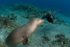 photographer Tom Carey with endangered Hawaiian monk seal, Monachus schauinslandi, at Ho'okena, Hawaii ( Central Pacific Ocean )