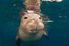 endangered Hawaiian monk seal, Monachus schauinslandi, at Ho'okena, Hawaii ( Central Pacific Ocean ) (dm)