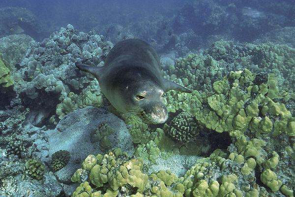 Endangered Hawaiian monk seal, Monachus schauinslandi, or 'ilio-holo-i-ka-uaua (H) at Honaunau Bay, Big Island of Hawaii ( Central Pacific Ocean )<br /> 1